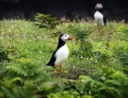 Skomer-Island_Vogelbeobachtung / NaturOrte